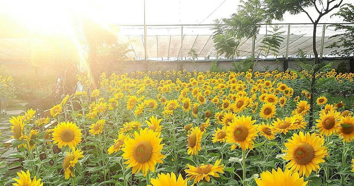 Lokasi Taman Bunga Matahari Samas